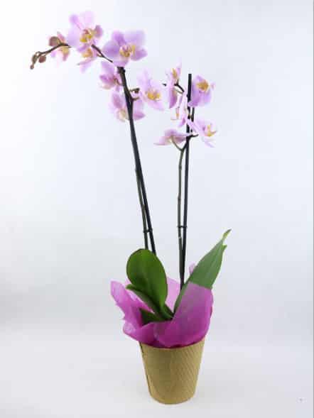 regalar planta orquidea